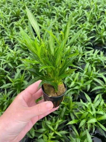 Hygrophila salicifolia spec Narrow Leaf (Weidenblättriger Wasserfreund)