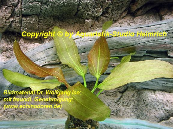 Echinodorus Dschungelstar Nr.11 (E11 Echin. Roter Cordifolius; F