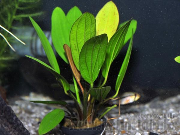 Echinodorus 'JAGUAR'