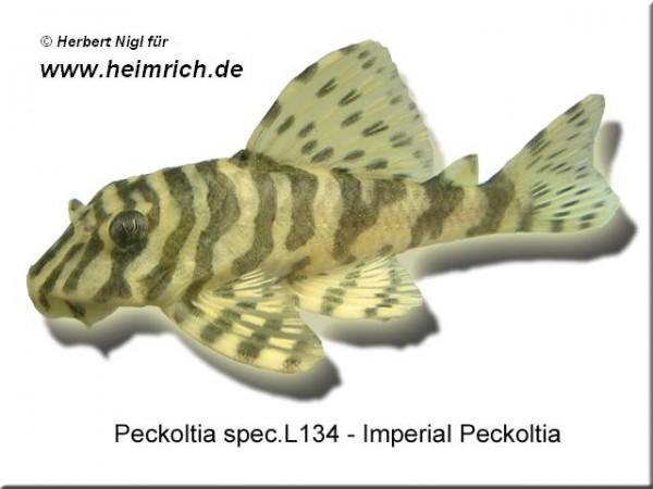 "L134 Peckoltia spec. ""Tapajós-Zebra"" (Imperial Peckoltia)"