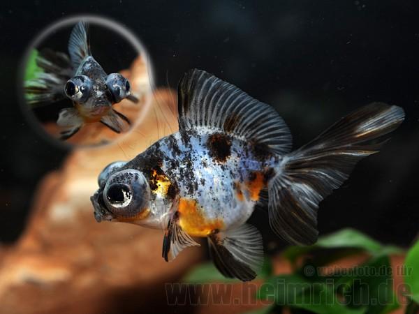 """Butterfly-Schleierschwanz, 6cm """"CALICO"""" (Carrasius auratus)"""