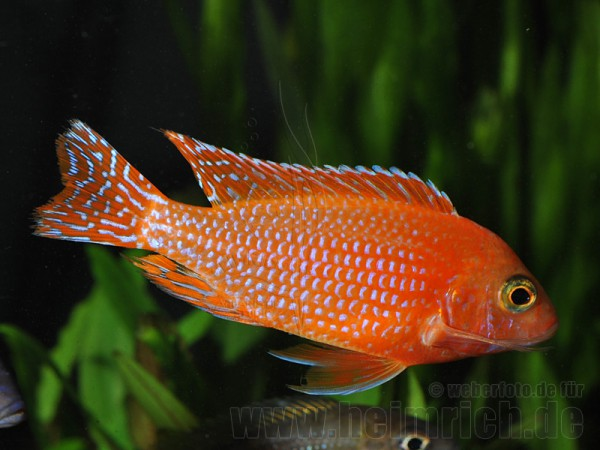 Aulonocara FIREFISH (intensiv Red)