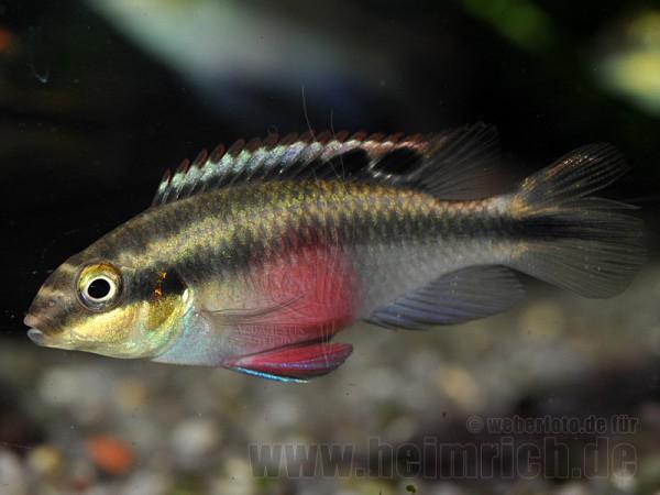"Pelvicachromis pulcher ""Super Red"", weibl. lg (Purpurprachtbarsc"