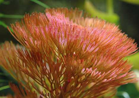 Cabomba piauensis red