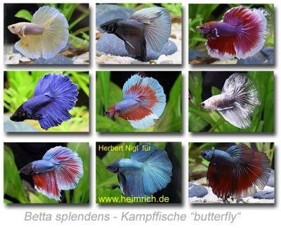 Siam. Kampffisch PREMIUM 'Butterfly', lg (Betta splendens)