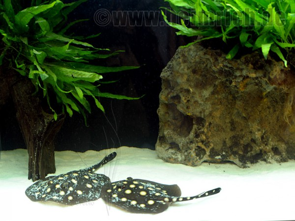 Potamotrygon leopoldi, Paar 16cm (Schwarze- od. Eclipse-Rochen