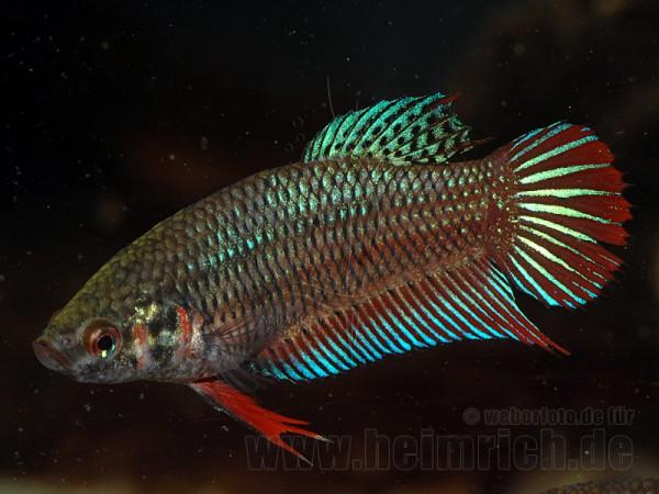 Siamesischer Kampffisch weibl., Mix-Farben lg (Betta splendens)