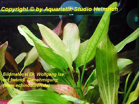 Echinodorus aschersonianus (Ascherson's Schwertpflanze)