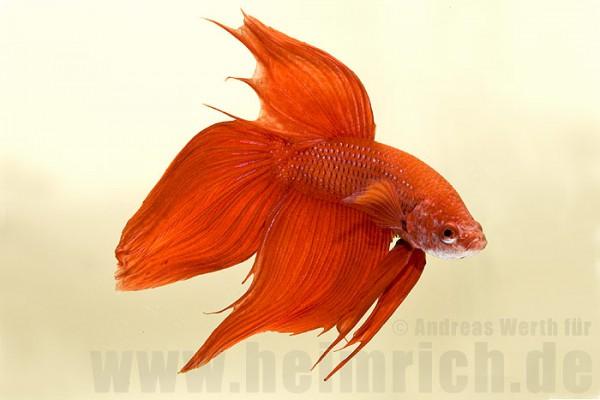 Siamesischer Kampffisch, Rot lg (Betta splendens)