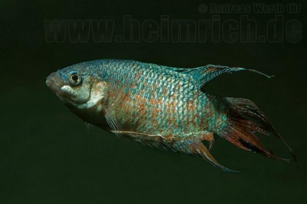Paradiesfisch, BLUE lg (Macropodus opercularis)