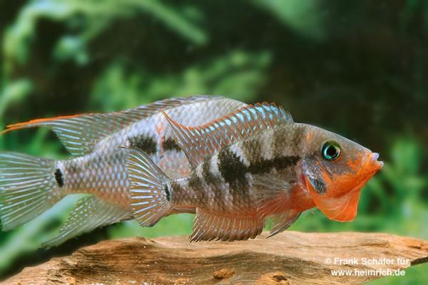 Thorichthys meeki Rio Candelaria XL, male