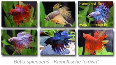 Siam. Kampffisch PREMIUM 'CROWN', lg (Betta splendens)