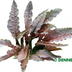 Cryptocoryne spec. 'Flamingo'