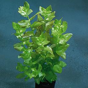 Bacopa caroliana (Großes Fettblatt)