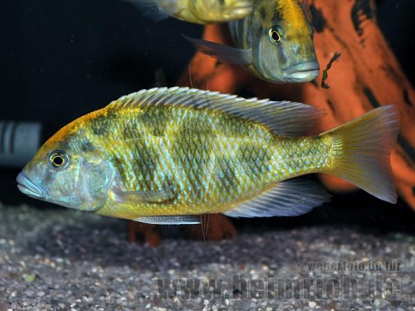 Nimbochromis venustus, XXL männl.