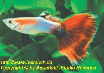 Guppy, Farbschlag Aquamarin Red Tail