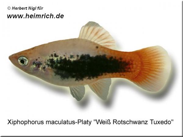 "Platy PREMIUM-""Weiß Rotschwarz Tuxedo"", lg (Xiph. mac., spe"