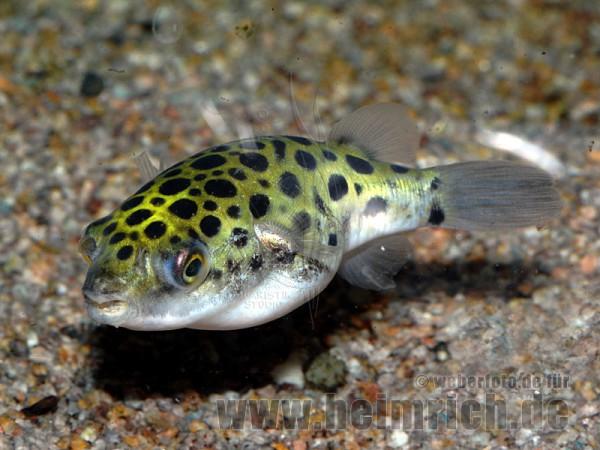 Tetraodon nigroviridis, med (Grüner Kugelfisch)