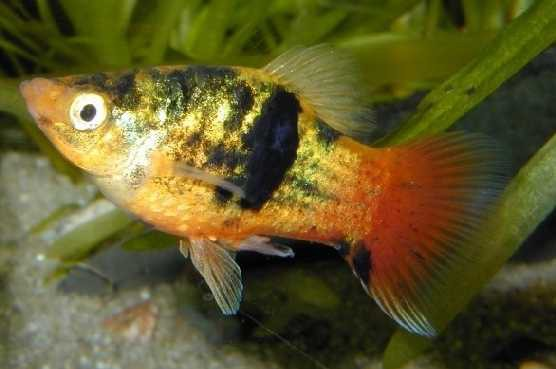 "Platy ""Gold Calico"", lg (Xiph. mac., spec. Gold Calico)"