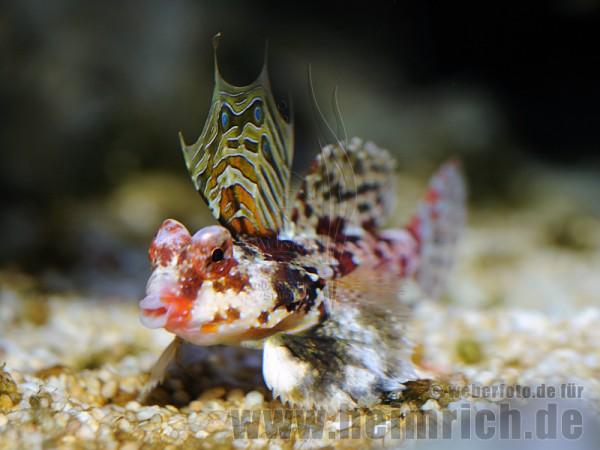 Stern-Mandarinfisch (Synchiropus stellatus)