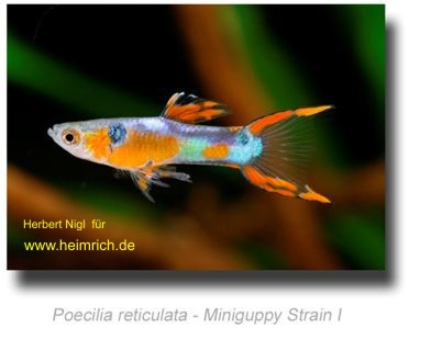 Guppy, Endler Miniguppy Strain 1 (Poecilia reticulata)