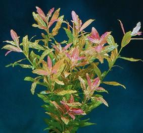 Hygrophila polysperma rosanervis (Bunter Indischer Wasserfreund)