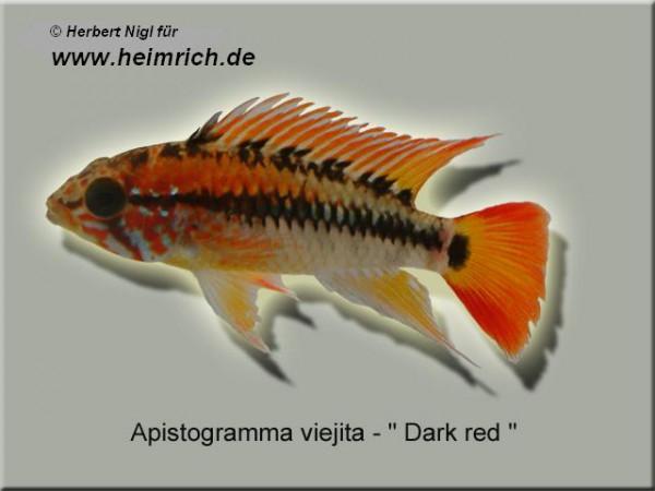 Apistogramma viejita, XL (Schwarzkehl-Zwergbuntbarsch)