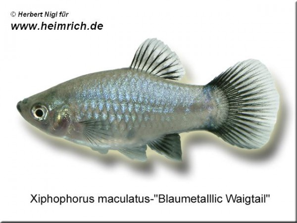 "Platy PREMIUM-""Blau metallic Wagtail"", lg (Xiph. mac., spe"