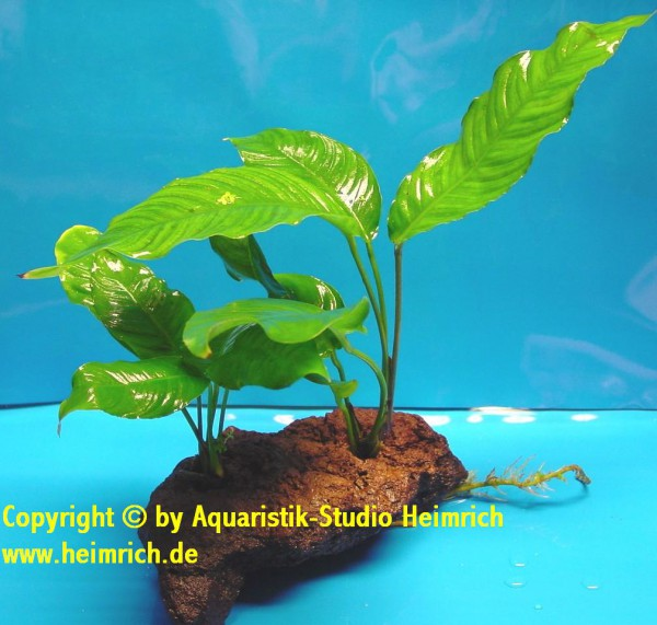 Anubia heterophylla, auf Lavastein