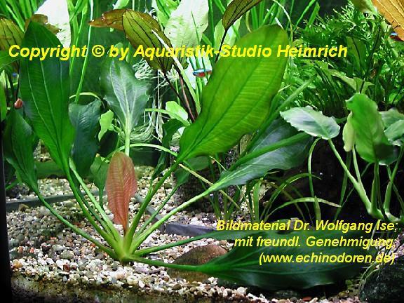 Echinodorus Apart (Aparte Schwertpflanze)