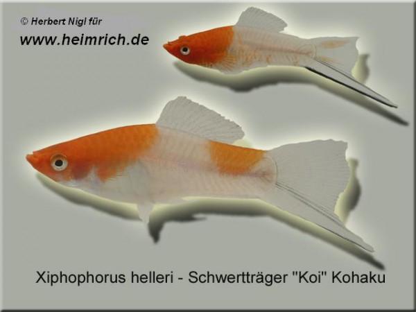 "Schwertträger ""KOI"" Kohaku, lg (Xiph. hell., spec. KOI)"