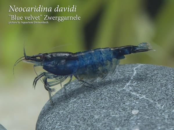 Neocaridina davidi, large (BLUE Velvet Zwergarnele)