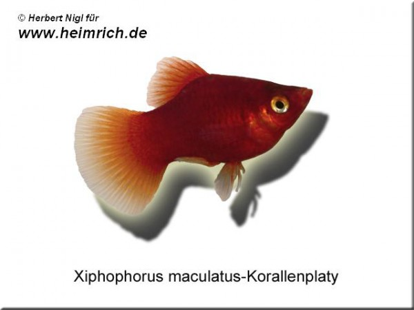 Roter Korallenplaty, lg (Xiph. mac., spec. red corall)