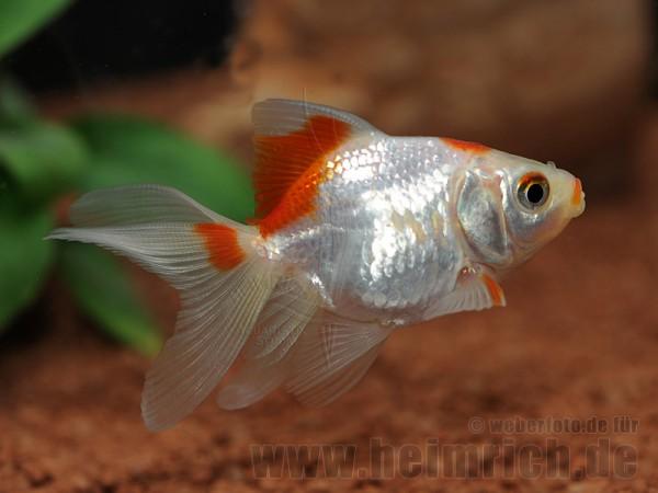 """Schleierschwanz, 6cm """"White/ Red spottet"""" (Carrasius a"""