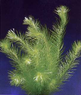 Mayaca, spec. sellowiana (Zartes grünes Mooskraut)