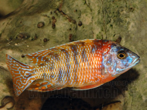Aulonocara nyassa, spec. Five Color