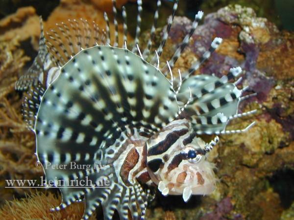 Zebra-Zwergfeuerfisch, med. (Dendrochirus zebra)