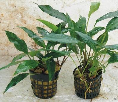 """Anubia hastifolia, """"XXL"""" (Mutterpflanze)"""