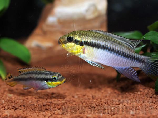 Pelviachromis subocellatus spec. Matadi, Zuchtpaar (Prachtbarsch