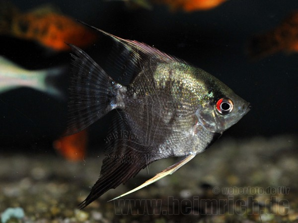 "Skalar ""JAGUAR"", medium (Pterophyllum Scalare)"