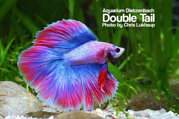 Siam. Kampffisch spec. Halfmoon Doubletail, lg (Betta splendens)