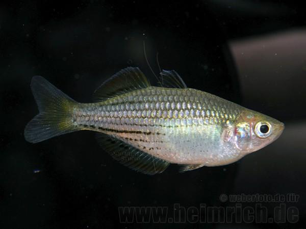 Melanotaenia macullochi (Zwergregenbogenfisch)
