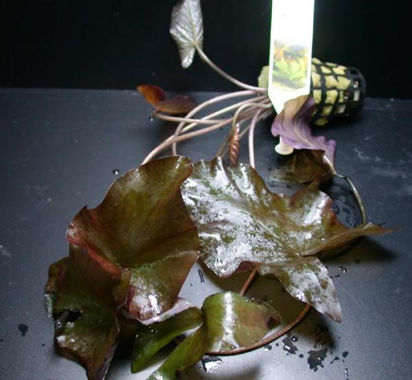 Nymphaea lotus var.rubra XL