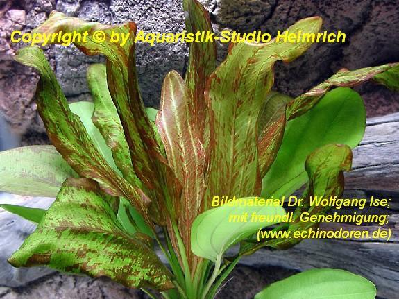 Echinodorus Dschungelstar Nr. 4 (E04 Echin. GRIZZLI-BÄR, Fa. Denn