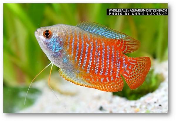 Zwergfadenfisch, lg (Colisa lalia)