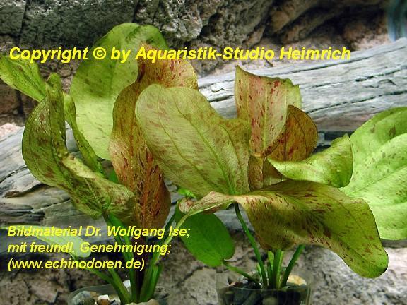 Echinodorus Dschungelstar Nr. 9 (E09 Echin. Getüpfelte Harbich, F