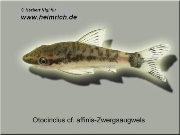 Otocinclus affinis (Zwergohrgitterharnischwels)