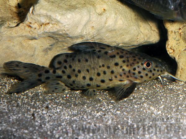 Synodontis eupterus, med (Schmuckflossen-Fiederbartwels)