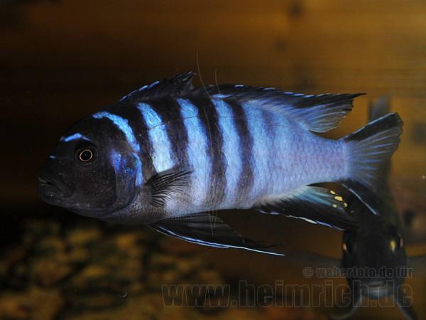 Pseudotropheus elongatus mpanga (Schmalbarsch mpanga)