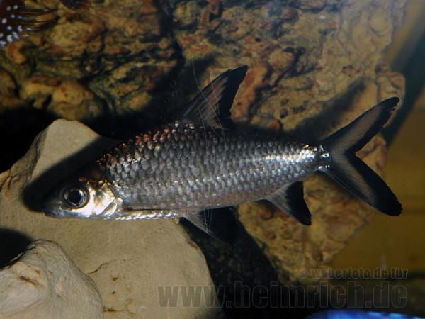 Balantiocheilus melanopterus, med (Haibarbe)